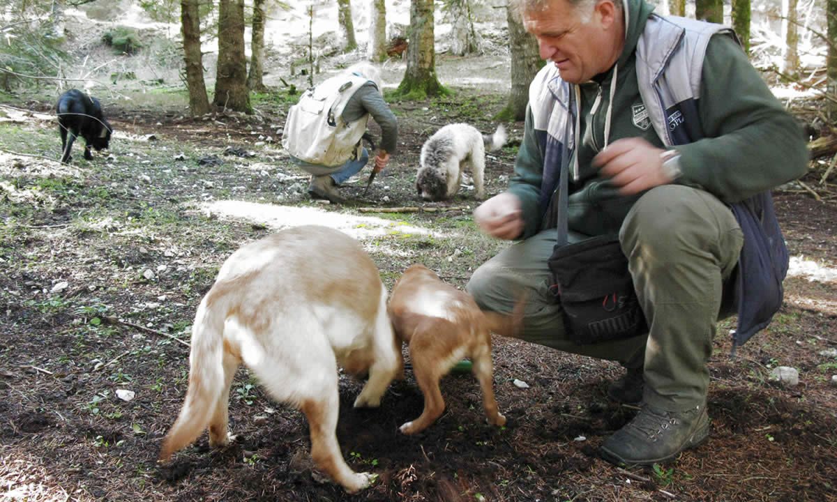 Truffle-hunting dogs dig the soil to unearth the precious truffles in the Zagori region of Ioannina