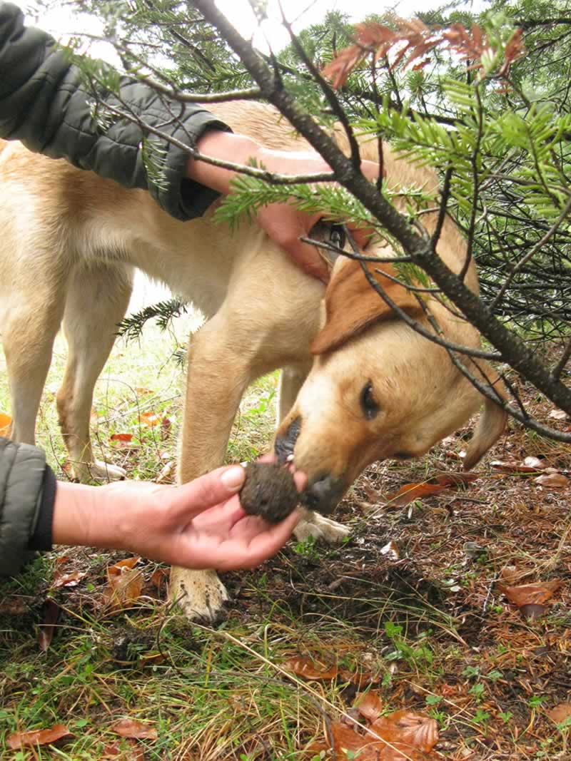 Discovery of a truffle by our truffle-dogs in Zagori, Greece
